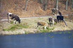 Gregge degli animali da allevamento delle mucche da latte sulla riva del lago o della sponda del fiume Fotografie Stock