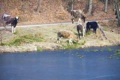 Gregge degli animali da allevamento delle mucche da latte sulla riva del lago o della sponda del fiume Fotografia Stock