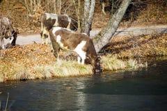 Gregge degli animali da allevamento delle mucche sulla riva del fiume Immagini Stock Libere da Diritti