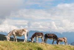Gregge degli asini che pascono sul prato alpino Immagine Stock Libera da Diritti