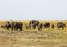 Gregge degli elefanti Immagini Stock
