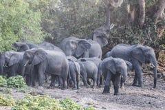 Gregge degli elefanti Fotografia Stock Libera da Diritti