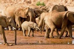 Gregge degli elefanti Immagine Stock Libera da Diritti