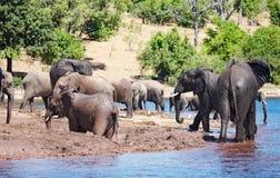 Gregge degli elefanti Fotografia Stock