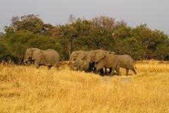 Gregge degli elefanti africani Fotografia Stock