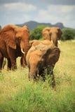 Gregge degli elefanti africani Immagine Stock Libera da Diritti