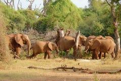 Gregge degli elefanti africani che mangiano cespuglio Fotografia Stock