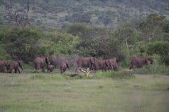 Gregge degli elefanti africani con i vitelli Immagine Stock