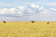Gregge degli elefanti alla savanna Immagine Stock Libera da Diritti