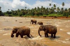 Gregge degli elefanti nel fiume Immagine Stock Libera da Diritti