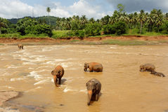 Gregge degli elefanti nel fiume Immagini Stock Libere da Diritti