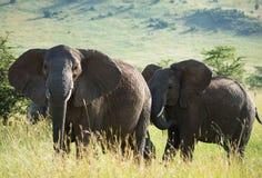 Gregge degli elefanti sulla savana africana Fotografia Stock Libera da Diritti