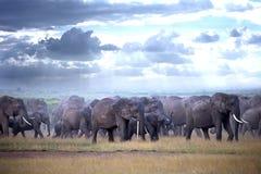 Gregge degli elefanti sulla savana africana Fotografia Stock