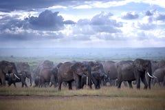Gregge degli elefanti sulla savana africana Immagini Stock Libere da Diritti