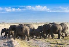 Gregge degli elefanti sulla savana africana Fotografie Stock
