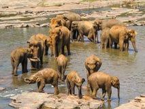 Gregge degli elefanti in un fiume Immagine Stock