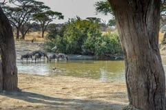 Gregge degli gnu e delle zebre Immagini Stock Libere da Diritti