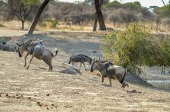 Gregge degli gnu e delle zebre Fotografia Stock Libera da Diritti