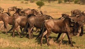 Gregge degli gnu in Serengeti, Tanzania immagine stock