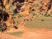 Gregge degli orsi bruni Fotografia Stock
