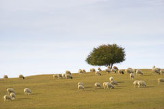 Gregge degli sheeps Fotografia Stock Libera da Diritti