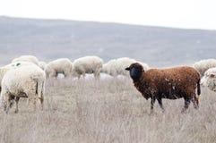 Gregge degli sheeps Fotografia Stock