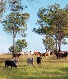 Gregge dei bovini da carne Immagine Stock Libera da Diritti