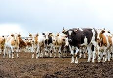 Gregge dei bovini da carne all'azienda agricola Fotografie Stock
