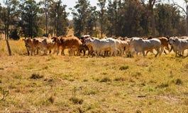 Gregge dei bovini da carne del Brahman che si muovono attraverso il recinto chiuso Fotografia Stock Libera da Diritti