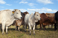 Gregge dei bovini da carne di estate Immagini Stock