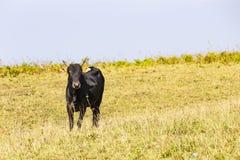 Gregge dei bovini da carne domestici tailandesi che pascono Fotografie Stock Libere da Diritti