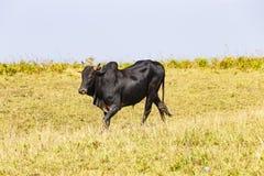 Gregge dei bovini da carne domestici tailandesi che pascono Immagini Stock