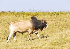 Gregge dei bovini da carne domestici tailandesi che pascono sul pascolo verde Immagine Stock Libera da Diritti