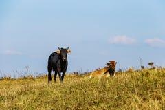 Gregge dei bovini da carne domestici tailandesi che pascono sul pascolo verde Fotografia Stock