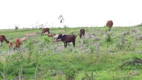 Gregge dei bovini da carne domestici tailandesi che pascono sul pascolo verde stock footage