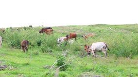 Gregge dei bovini da carne domestici tailandesi che pascono sul pascolo verde archivi video
