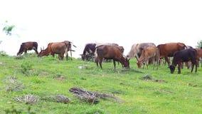 Gregge dei bovini da carne domestici tailandesi che pascono sul pascolo verde video d archivio