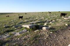 Gregge dei bovini da carne neri su un pascolo libero Immagine Stock Libera da Diritti