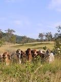 Gregge dei bovini da carne in pascolo Fotografia Stock