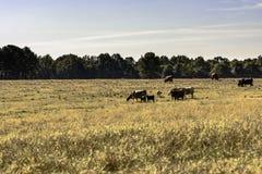 Gregge dei bovini da carne in pascolo dormiente Fotografia Stock