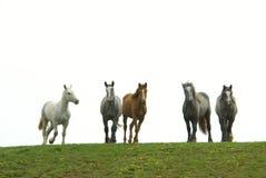 Gregge dei cavalli Immagini Stock