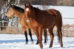 Gregge dei cavalli Immagini Stock Libere da Diritti