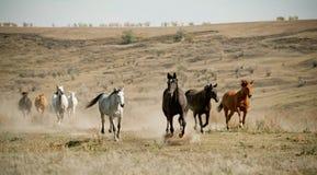 Gregge dei cavalli Immagine Stock