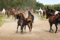 Gregge dei cavalli Immagine Stock Libera da Diritti