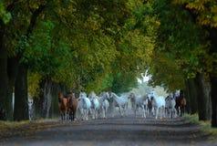 Gregge dei cavalli arabi sulla strada del villaggio fotografia stock