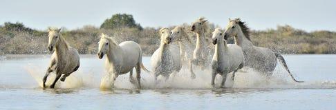 Gregge dei cavalli bianchi di Camargue che passano acqua Immagini Stock