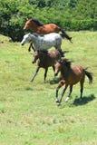 Gregge dei cavalli che galoppano insieme Fotografia Stock