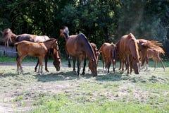 Gregge dei cavalli che mangiano erba falciata fresca su un'azienda agricola rurale del cavallo Fotografia Stock Libera da Diritti