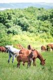 Gregge dei cavalli che mangiano erba nel campo Immagine Stock