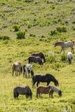 Gregge dei cavalli che pascono nel campo Fotografia Stock